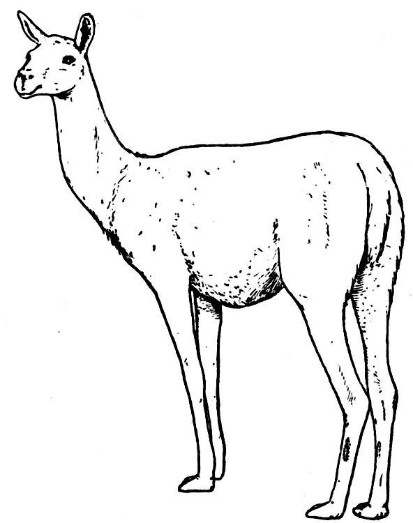 Lama coloring, Download Lama coloring for free 2019