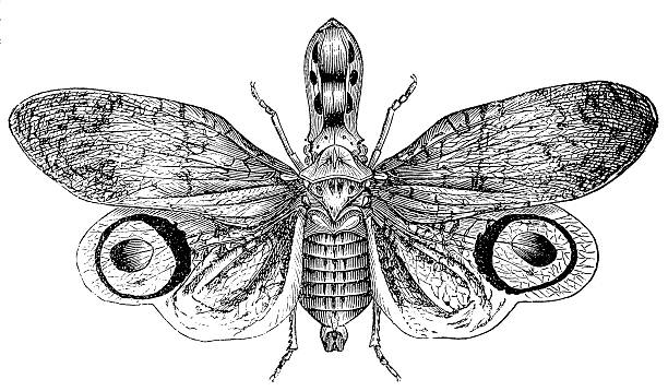 Lantern Fly clipart #14, Download drawings