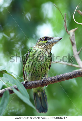 Large Green Barbet clipart #17, Download drawings