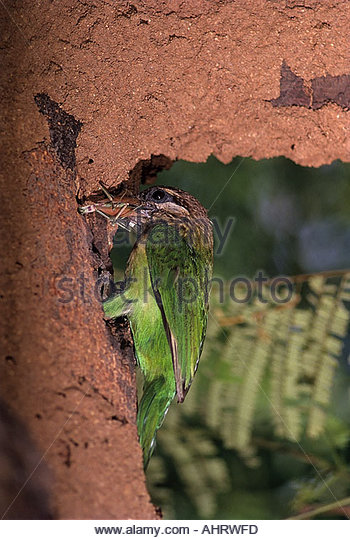 Large Green Barbet clipart #12, Download drawings