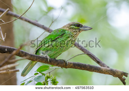 Large Green Barbet clipart #11, Download drawings