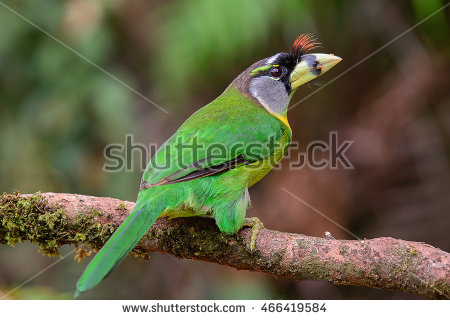 Large Green Barbet clipart #8, Download drawings