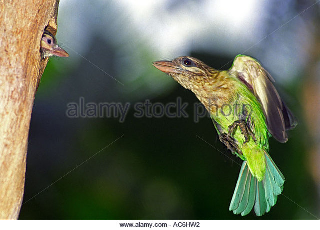 Large Green Barbet clipart #10, Download drawings