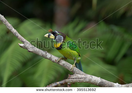 Large Green Barbet clipart #9, Download drawings