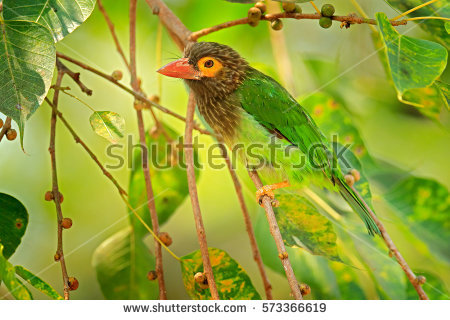 Large Green Barbet clipart #4, Download drawings