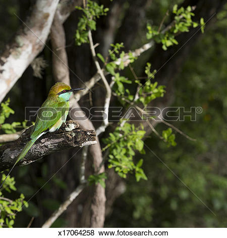 Large Green Barbet clipart #6, Download drawings