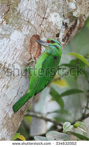 Large Green Barbet clipart #3, Download drawings