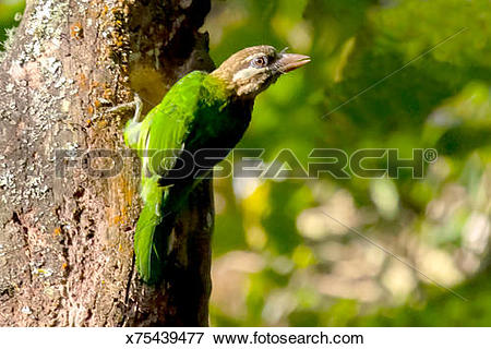 Large Green Barbet clipart #16, Download drawings