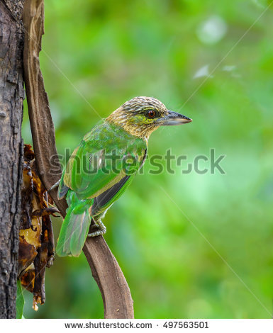 Large Green Barbet clipart #7, Download drawings