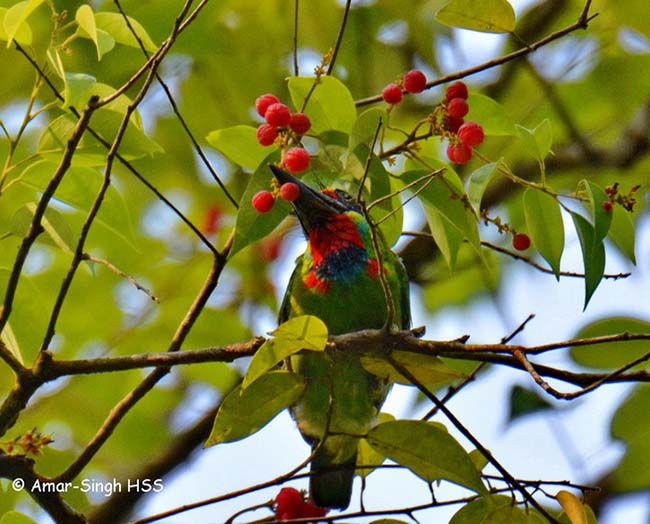 Red-Throated Barbet svg #5, Download drawings