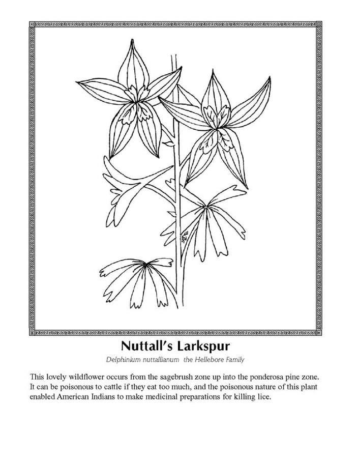 Larkspur Coloring Download Larkspur Coloring
