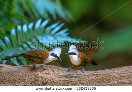Laughningthrush clipart #6, Download drawings