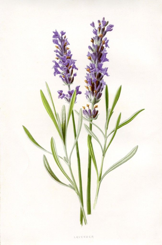Lavender clipart #3, Download drawings