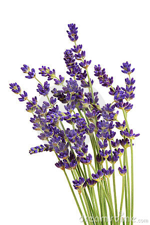 Lavender clipart #13, Download drawings
