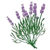 Lavender clipart #17, Download drawings