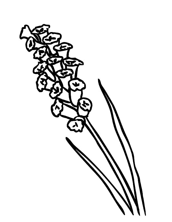 Lavender coloring #2, Download drawings