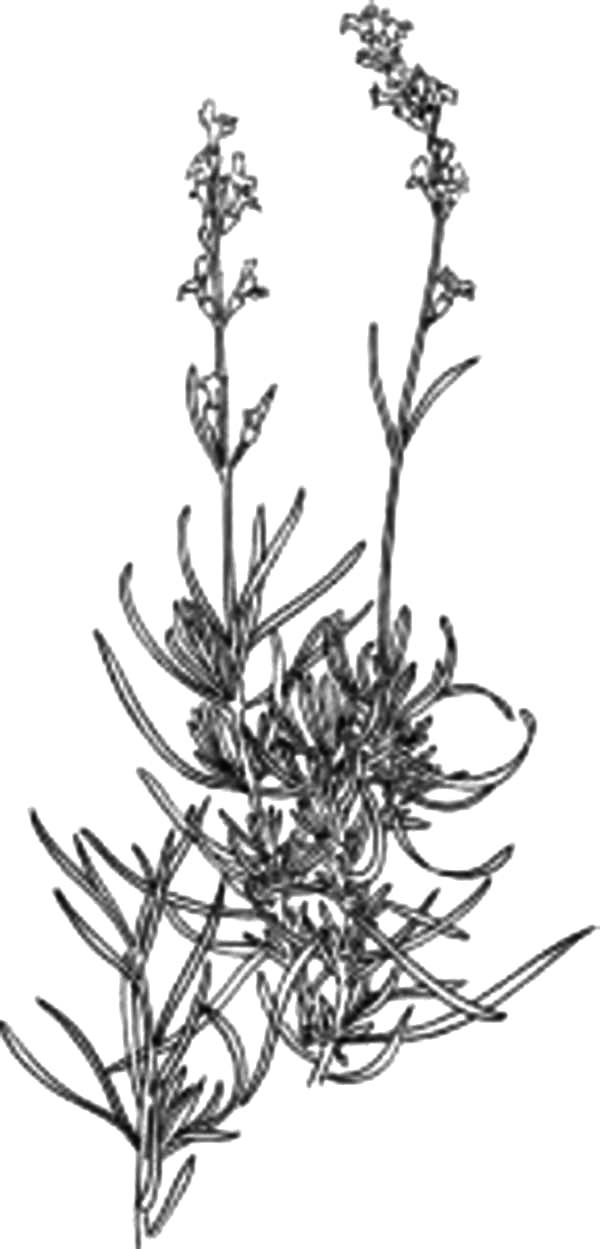 Lavender coloring #3, Download drawings