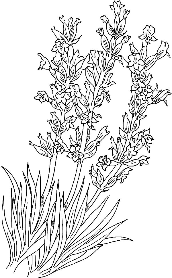 Lavender coloring #16, Download drawings