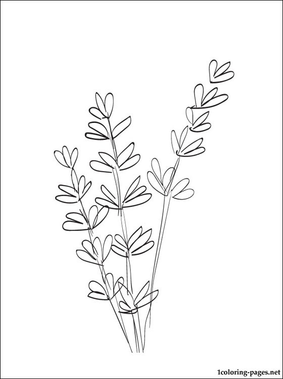 Lavender coloring #10, Download drawings
