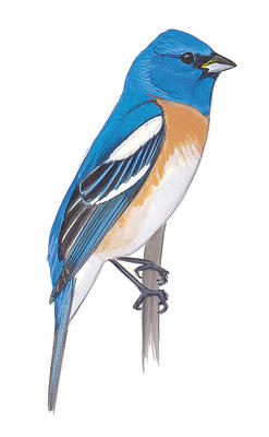 Lazuli Bunting clipart #10, Download drawings