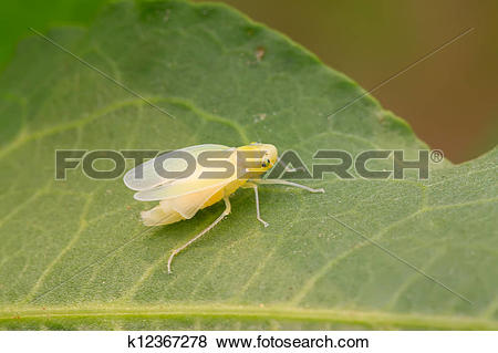 Leafhopper clipart #2, Download drawings