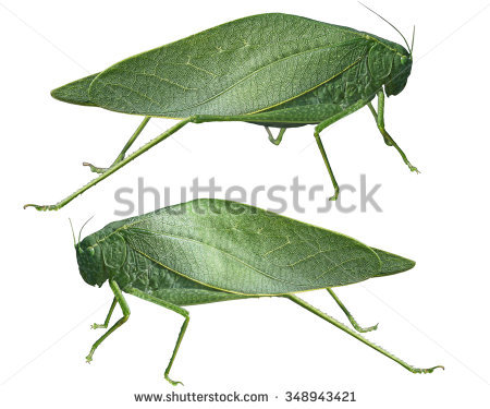 Leafhopper clipart #7, Download drawings