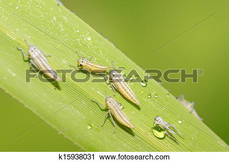 Leafhopper clipart #3, Download drawings
