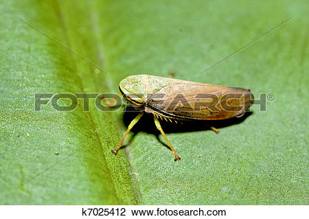Leafhopper clipart #1, Download drawings