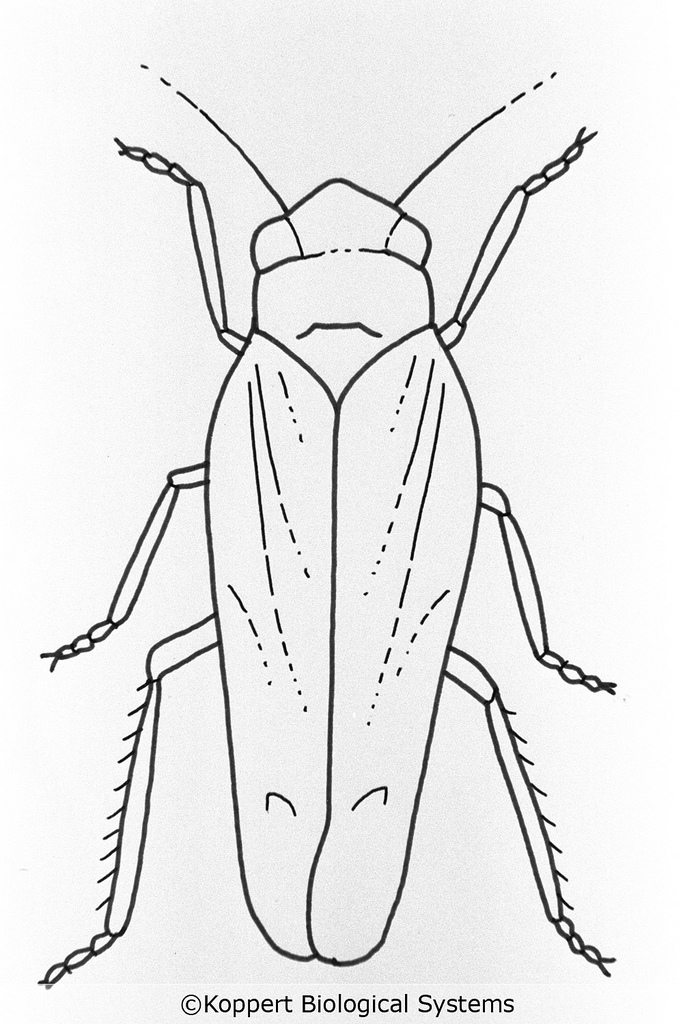 Leafhopper coloring #17, Download drawings