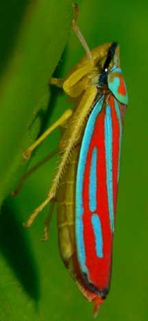 Leafhopper coloring #18, Download drawings
