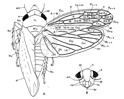 Leafhopper coloring #13, Download drawings
