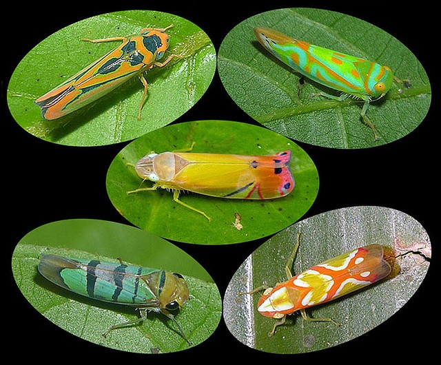 Leafhopper coloring #8, Download drawings