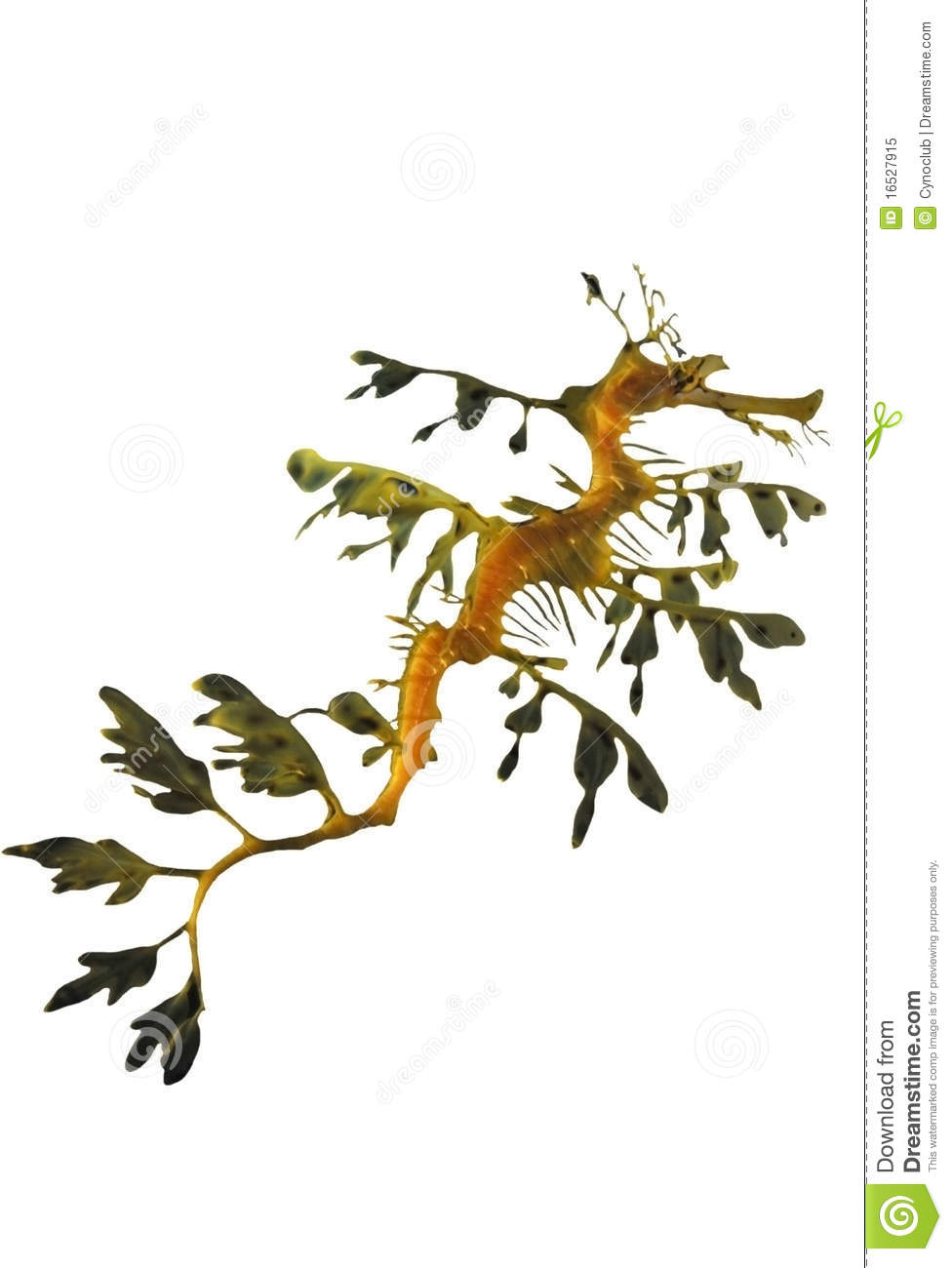 Leafy Seadragon clipart #14, Download drawings