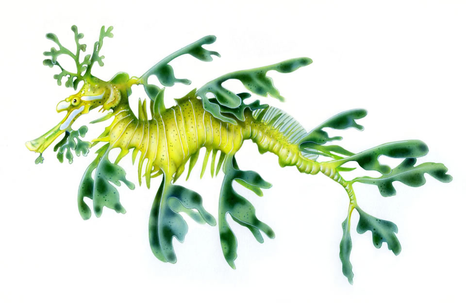 Leafy Seadragon clipart #12, Download drawings