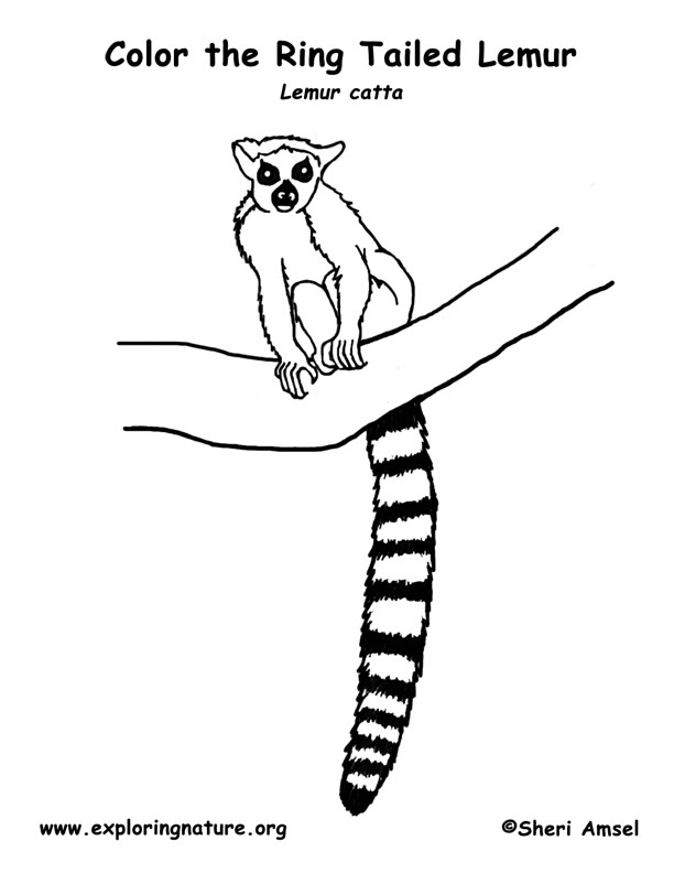 Ring-tailed Lemur coloring #16, Download drawings