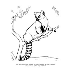 Ring-tailed Lemur coloring #1, Download drawings