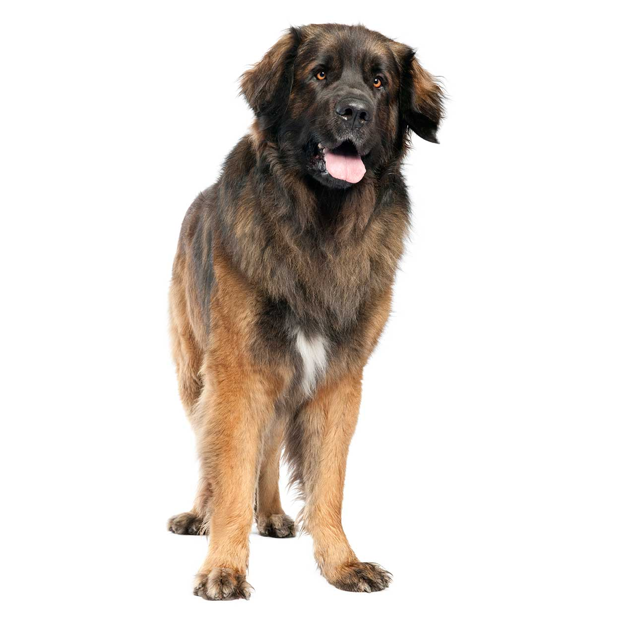 Leonberger coloring #8, Download drawings