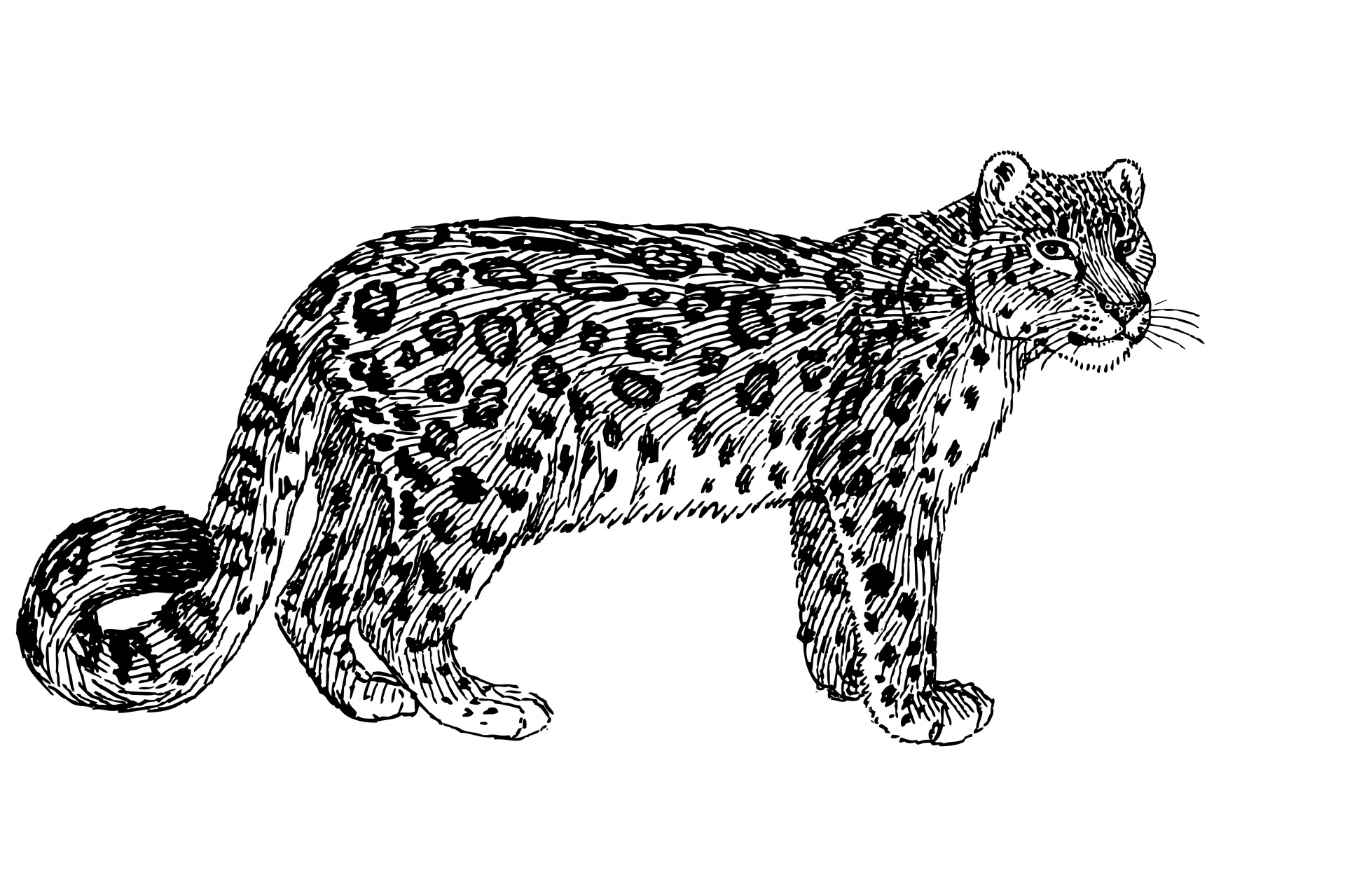 Leopard clipart #6, Download drawings