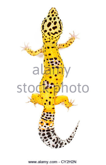 Leopard Gecko clipart #16, Download drawings