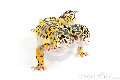 Leopard Gecko clipart #18, Download drawings