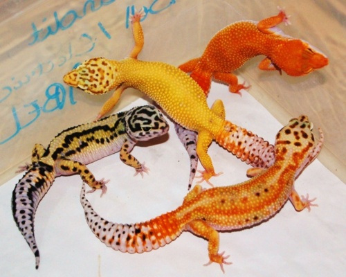 Leopard Gecko coloring #4, Download drawings