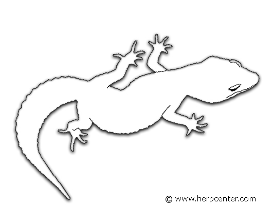 Gecko Coloring Page Az Pages Sketch Coloring Page