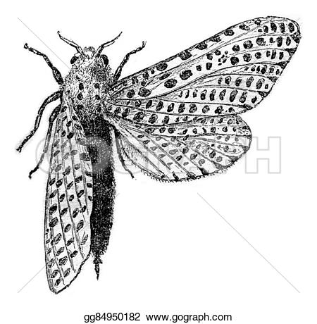 Leopard Moth clipart #17, Download drawings