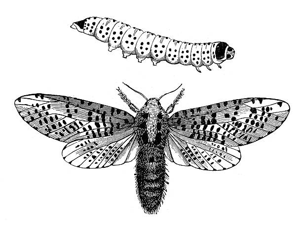 Leopard Moth clipart #19, Download drawings