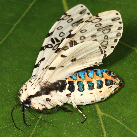 Leopard Moth coloring #12, Download drawings