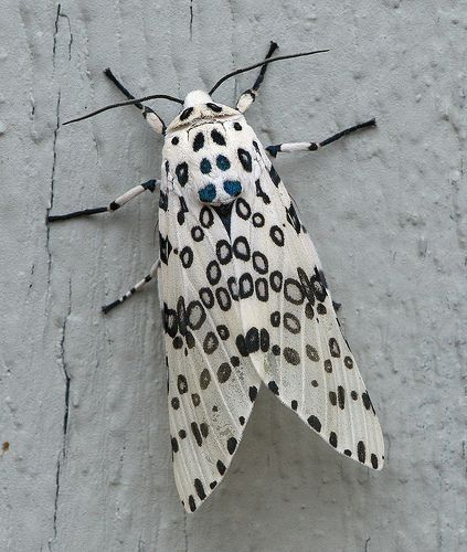 Leopard Moth coloring #9, Download drawings