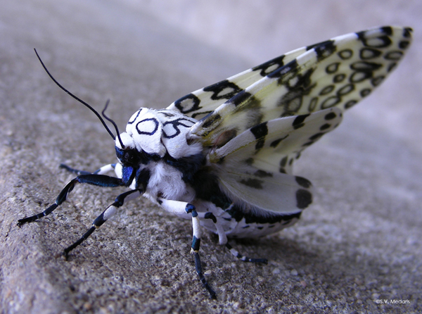 Leopard Moth coloring #17, Download drawings