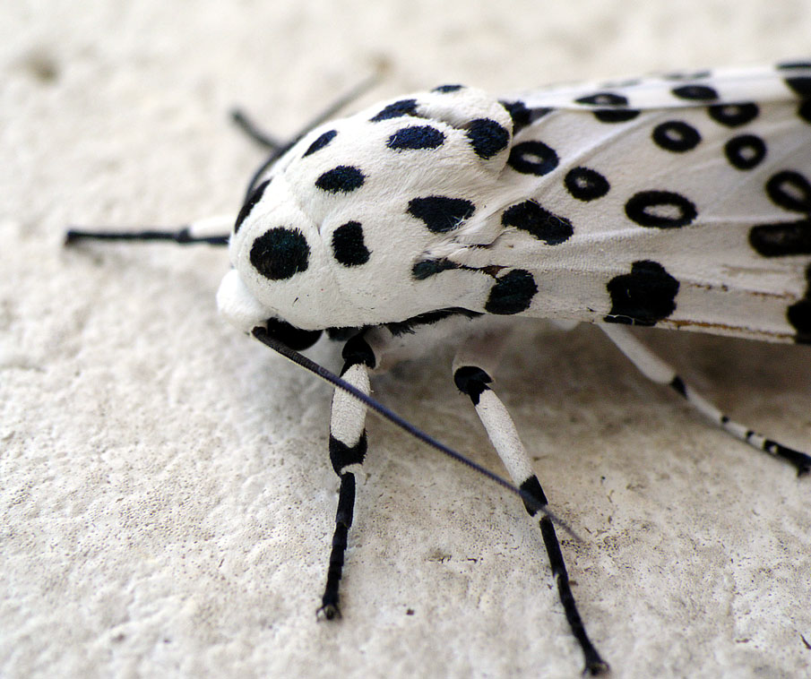 Leopard Moth coloring #6, Download drawings