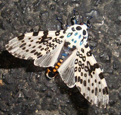 Leopard Moth coloring #16, Download drawings