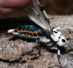 Leopard Moth coloring #18, Download drawings